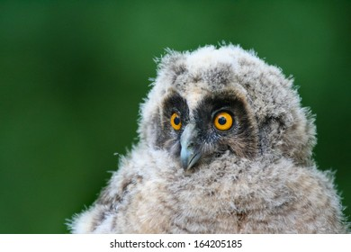 Long-eared Owl (Asio otus) Owlet closeup portrait