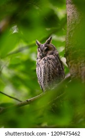 Long-eared owl (Asio otus) resting on the branch in Bavarian Forest National Park. Sharp photograph with shallow depth of field