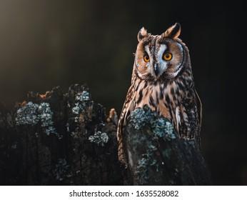 Long-eared owl (Asio otus) sitting on dry tree. Beautiful owl with orange eyes portrait. Dark background. Long-eared owl in dark forest.