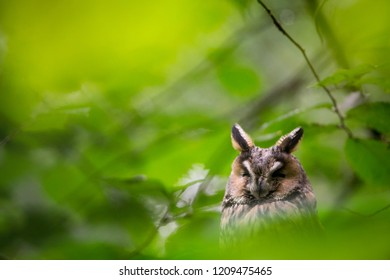 Long-eared owl (Asio otus) sleeping on the branch in Bavarian Forest National Park. Sharp photograph with shallow depth of field