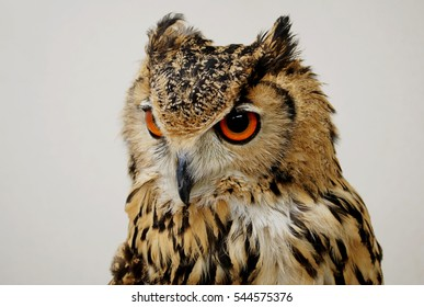 Long-eared owl close-up