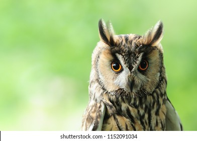 Long-eared owl nocturnal bird of prey