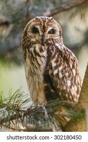 Long-eared Owl portrait in the tree