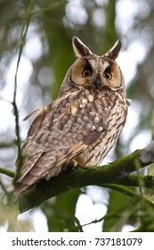 Long-eared Owl sitting in a tree - The Netherlands