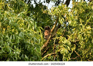 Long-eared owl's nestling among willow branches