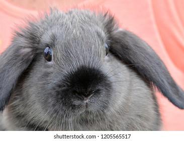 Long-eared Rabbit up close