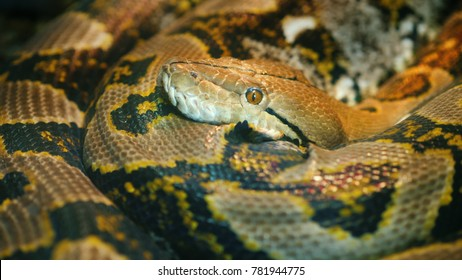 The longest snake in the world - Asia's giant Reticulated Python. Quietly asleep, curled into a ring