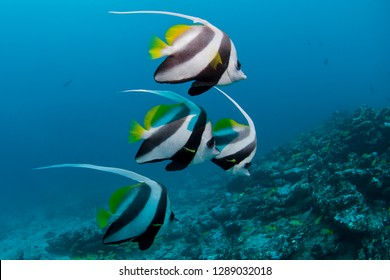 Longfin Bannerfish close to the reef in clear blue water
