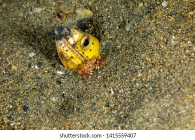Longfin snake eel, Pisodonophis cancrivorus, is an eel in the family Ophichthidae worm/snake eels and a Harlequin Swimming Crab, Lissocarcinus laevis