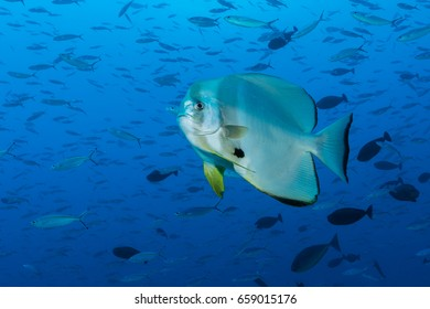 Longfin  Spadefish (Platax teira) swimming in the blue ocean