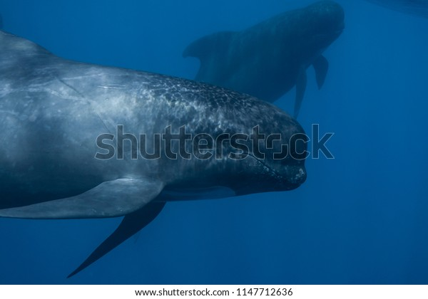 Long-finned pilot whale close up