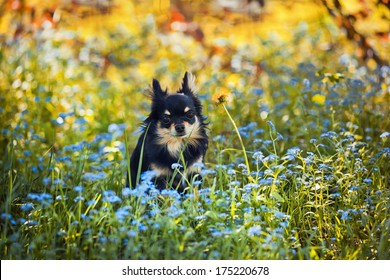Long-hair Chihuahua dog in the green grass and Forget-me-not flowers