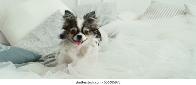 Longhair Chihuahua Dog on Light Textile Decorative Coat and Pillows for a Modern Bed in House or Hotel. Horizontal, close up, copy space.