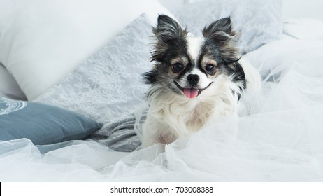 Longhair Chihuahua Dog on White Textile Decorative Coat and Pillows for a Scandinavian Style Bed in House or Hotel. Horizontal, close up, copy space. Pets friendly concept.