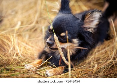 Long-hair Chihuahua dog outdoor portrait