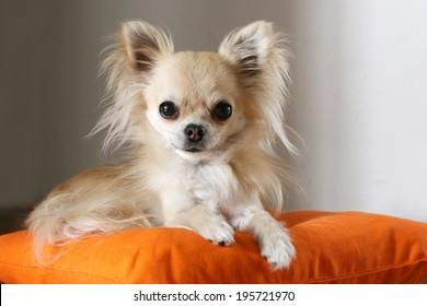 Long Hair Chihuahua Images Stock Photos Vectors