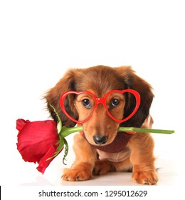 Longhair dachshund puppy dog, studio isolated on white wearing heart shaped Valentines day eyeglasses and holding a red rose. Valentine love concept, February 14.
