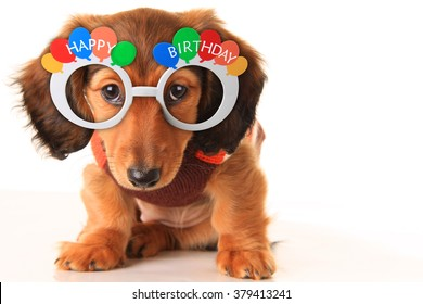 Longhair dachshund puppy wearing Happy Birthday glasses. Studio isolated on white.