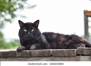 A long-haired, black, barn cat laying on a rough, wooden surface looking right at the camera outside on an overcast day