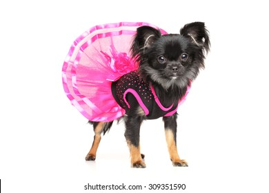 Long-Haired Chihuahua dog in fashionable dog dress on white background