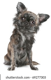Long-haired chihuahua dog sitting on a white background
