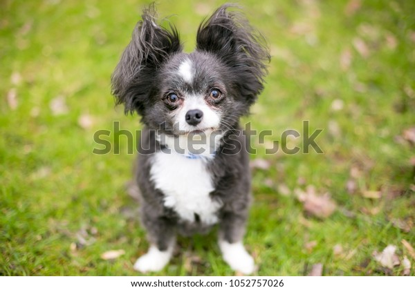 Longhaired Chihuahua Mixed Breed Dog Fluffy Stock Photo