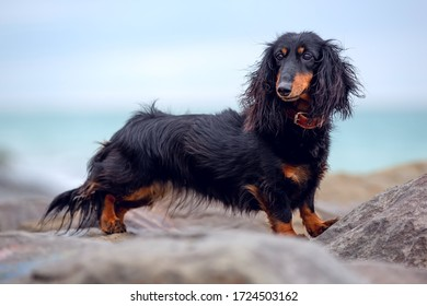 Long-haired Dachshund by the sea