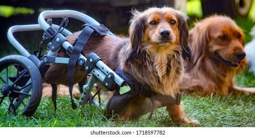 Long-haired dachshund dog in a wheelchair