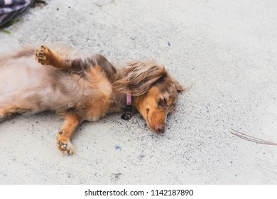 """Longhaired dachshund, also known as dapple dachshund or """"dapple doxie"""", laying down outside with paws spread out in a stretch."""