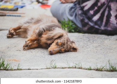 """Longhaired dachshund, also known as dapple dachshund or """"dapple doxie"""", laying on concrete near a person. Dog has brown, spotted fur."""