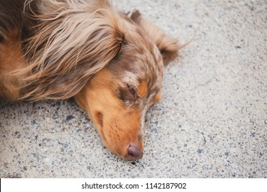 """Longhaired dachshund, also known as dapple dachshund or """"dapple doxie"""", laying on concrete. Dog has brown, spotted fur."""