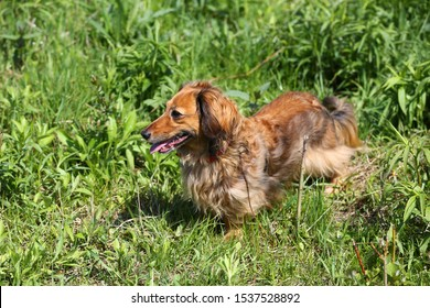 Long-haired dachshund walking among the grass.