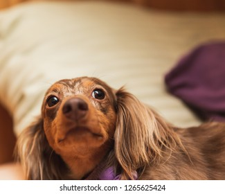 Longhaired dapple dachshund with brown and white fur laying on a bed.