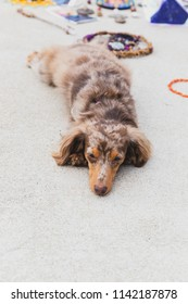 Longhaired dapple dachshund dog laying on concrete or pavement with decorative stones and jewelry in the background. Vertical photo orientation.