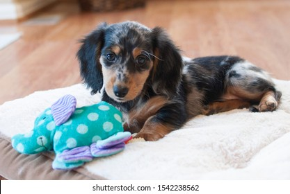 45+ Long Haired Miniature Dachshund For Sale