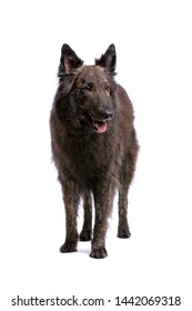 Long-haired Dutch Shepherd in front of a white background