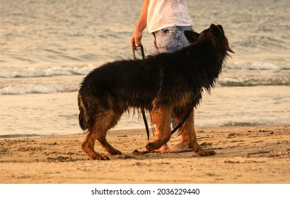long-haired German Shepherd at the beach
