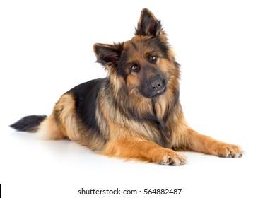 long-haired German shepherd dog portrait studio isolated on white