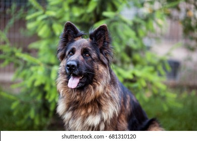 A long-haired German shepherd sits in the yard