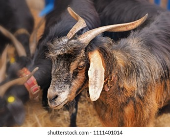 Long-haired goat with long horns and brown long coat and very long ears in Tenerife. A free-range goat, typical of the Canary Islands.