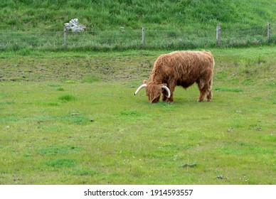 The Long-haired Highland cow eating grass , Scotland