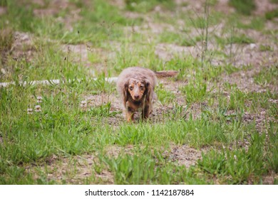 Longhaired miniature dachshund walking through patches of green grass on a summer day. Miniature weiner dog with long brown hair wandering outdoors in a yard.