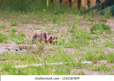 Longhaired miniature dachshund walking through patches of green grass on a summer day. Miniature weiner dog with long brown hair wanders outdoors in a yard.
