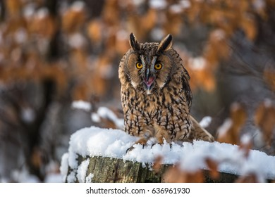 Long-haired owl owl hidden in the woods. A wild scene from the natural environment. Bird on the spruce. Christmas with Owl. - Shutterstock ID 636961930