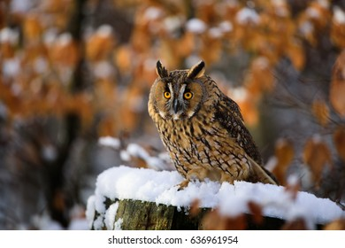 Long-haired owl owl hidden in the woods. A wild scene from the natural environment. Bird on the spruce. Christmas with Owl. - Shutterstock ID 636961954