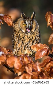 Long-haired owl owl hidden in the woods. A wild scene from the natural environment. Bird on the spruce. Christmas with Owl. - Shutterstock ID 636961963