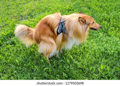 Long-haired (Rough Collie) Lassie excrement / shitting on meadow excrement poop. The toilet dog nature in the green grass