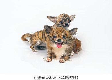 Long-haired and short-haired brindle Chihuahua dogs lying indoors side by side on a white background
