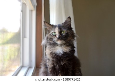 Longhaired Tortoiseshell Cat Sitting in a Window