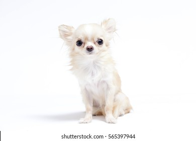 long-haired white Chihuahua on white background
